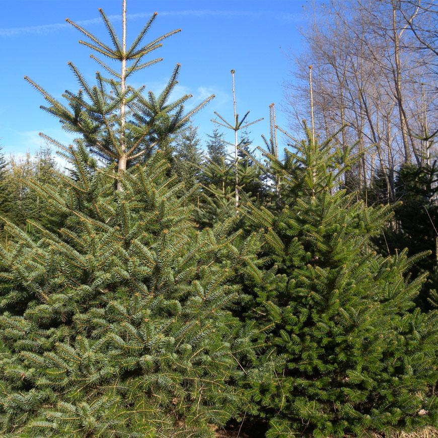 Produzione e vendita alberi di natale reggio calabra for Alberi in vendita